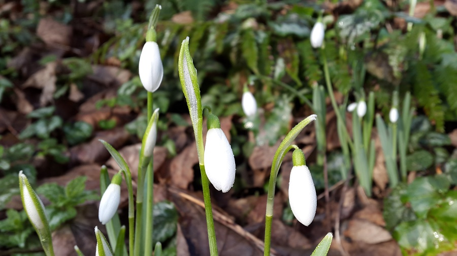 Snowdrops herald the arrival of spring in Cornwall