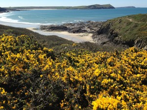 Gorse-and-a-view