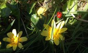 Spring-flowers-and-ladybirds-in-Cornwall