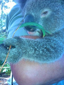koala-225x300