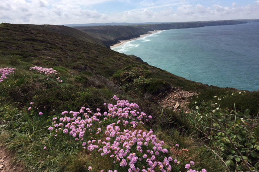 Sea Pinks on the coast path near St Agnes