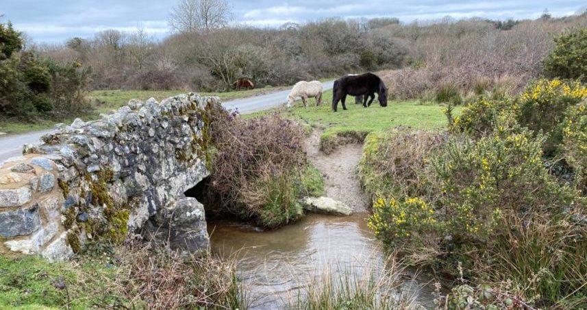 Ponies on Goss Moor Trail Cornwall