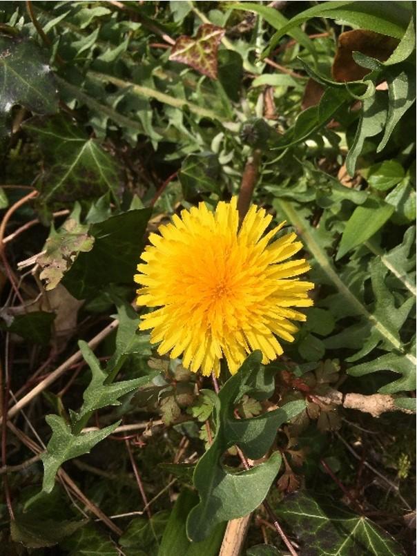 Taraxacum officinale - dandelions