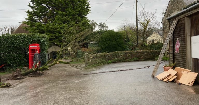 Golden elm tree at Bosinver being felled