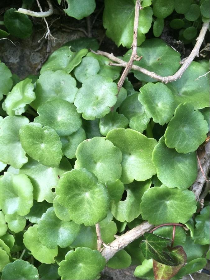 Umbilicus rupestris – navelwort