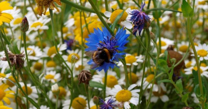 A bee in wildflowers at Bosinver