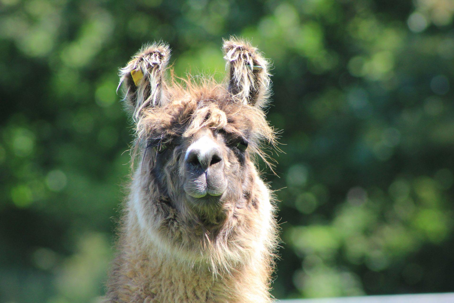 A llama from Llamaland, Cornwall